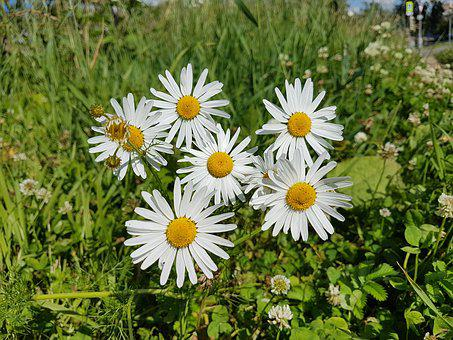 Flower, Chamomile, Beautiful, Organic, Natural, Floral