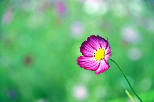 Cosmos, Flowers, Autumn, Purple, Plants, Petal