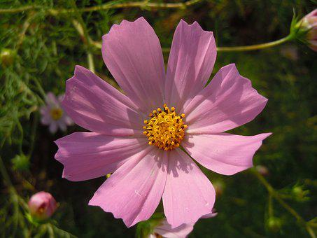 Pink, Cosmos, In Autumn, Autumn, Plants, Tabitha, Petal