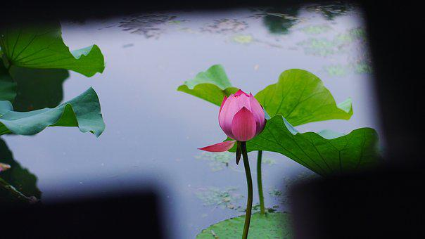 Lotus, Plant, The Water, Summer