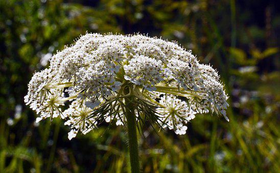 Alpine Flowers, Wild Plant, High Mountains, Umbel