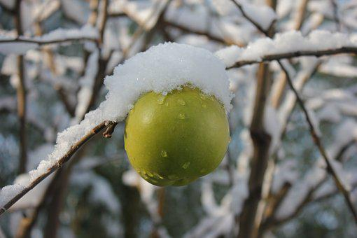 Apple, Winter, Snow, Green, Apple Tree, White, Fruit