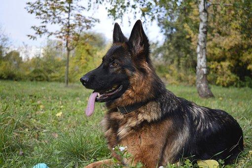 Dog, The German Shepherd Dog, Zvierata