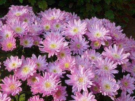 小菊, Chrysanthemum, Pink