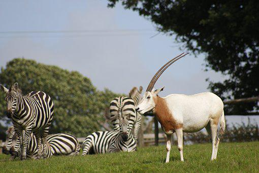 Zebra, Zoo, Wild, Animal, Nature, Wildlife, African