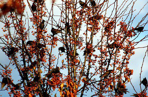 Birds, Berries, Branch, Tree, Autumn, Feather, Nature