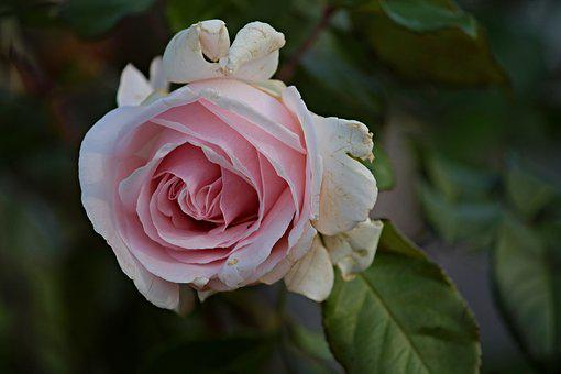Rose, Age, Pass, Autumn, Old, Nature, Transient