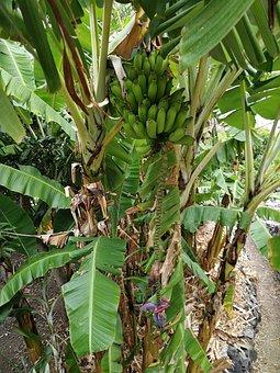Banana, Banana Plant, Banana Shrub, Fruit, Tropical