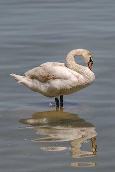 Swan, Animal, Relax, Water Bird, Water, White Swan