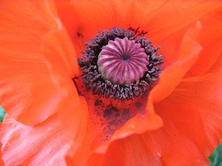 Klatschmohn, Flower, Poppy, Red, Blossom, Bloom