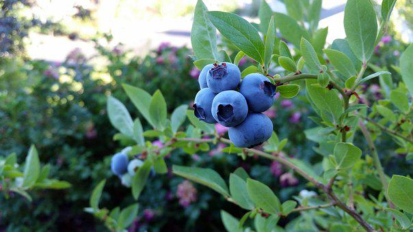 Rubel Blueberry, Blueberry, Fruit, Plant, Blue, Fall