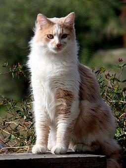 Domestic Longhair Cat, Domestic Cat, Cat, Long Hair