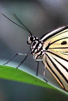Butterfly, Baumnymphe, Macro, Close, Black White