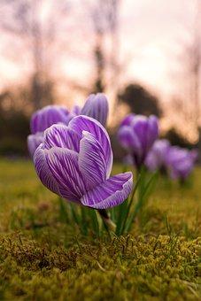Crocus, Rush, Spring, Bühen, Flower, Color, Beautiful