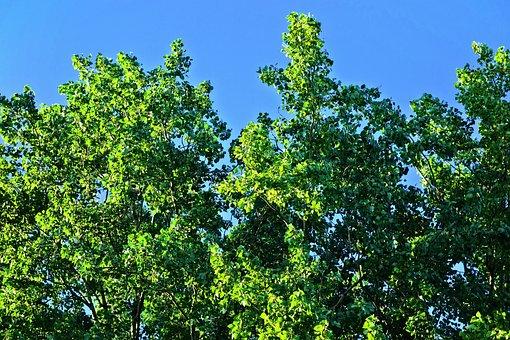 Tree, Treetop, Crown, Foliage, Green, Luscious, Sky