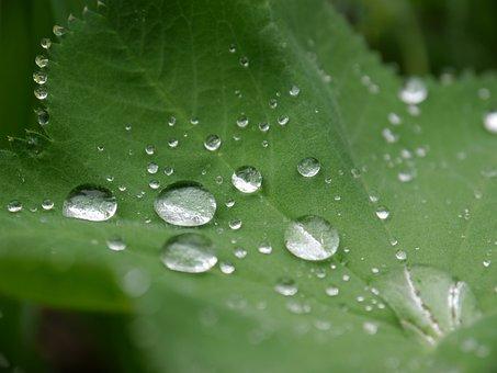 Frauenmantel, Drip, Drop Of Water, Plant, Leaves