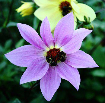 Flower, Bees, Garden, Pollinating, Insect, Nature