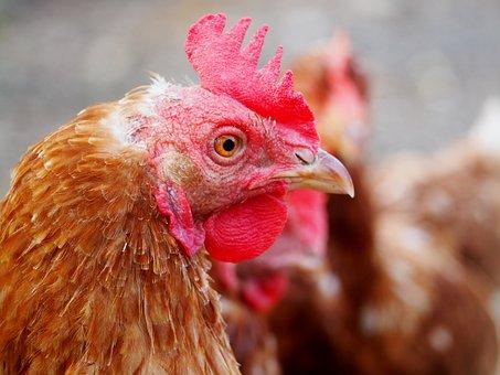 Hen, Egg, Chicken, Farm, Poultry, Free Running