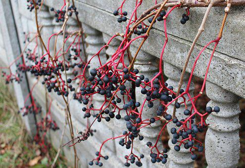 Wild Wine, Fruit, Black Berries, Fruit Of The Poisonous