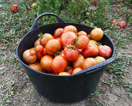 Tomatoes, Harvest, Orchard, Food, Vegetable, Healthy