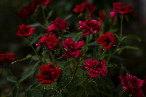 Roses, Red Roses, Flowers, Dark, High Contrast