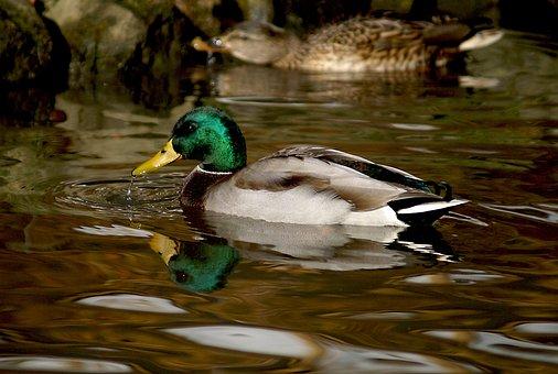 Duck, Crossword, Wild Ducks, Mallard Duck, Bird