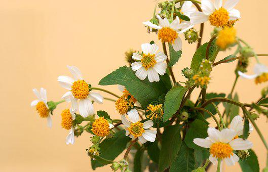 Natural, Wildflowers, White Flowers, Pistil Yellow