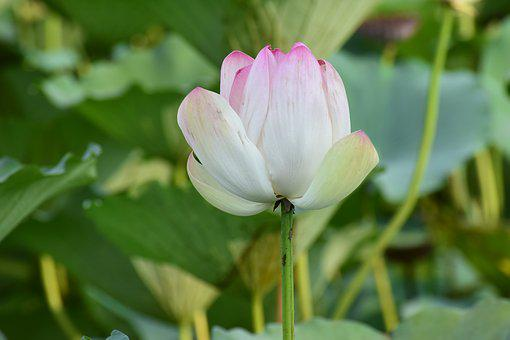 Floral, Flower, Lotus, Nature, Spring, Plant, Design