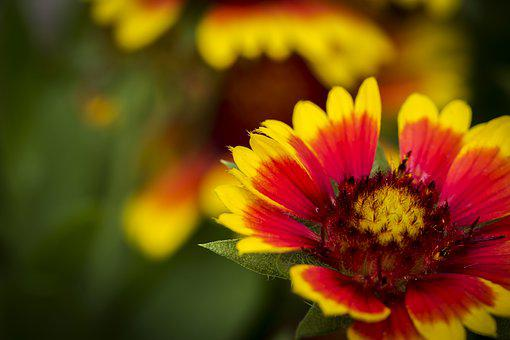 Flower, Nature, Close-up, Red And Yellow Flower