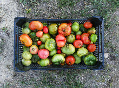 Tomatoes, Green Tomatoes, Harvest, Cultivation, Orchard