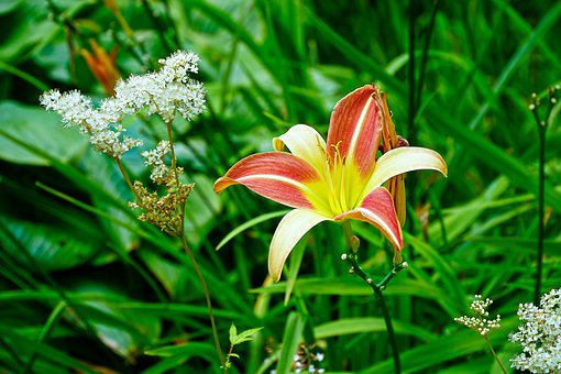 Lily, Flower, Plant, Summer, Garden, Lilly, Petal, Red