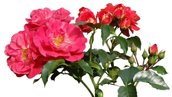 Roses, Love, Valentine's Day, Rose Bloom, Nature
