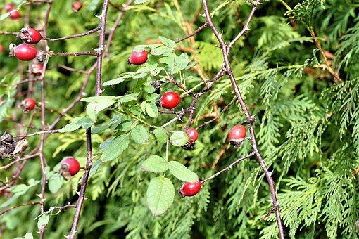 Rose Hip, Bush, Red, Autumn Fruits, Rose Greenhouse