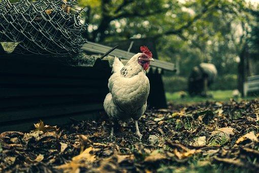 The Hen, Eggs, Animals, Bird, Poultry, Nature, Pen