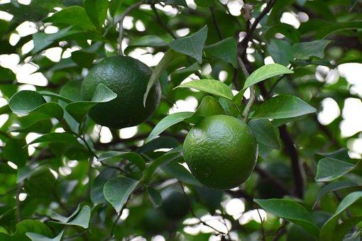 Tree, Fruit, Green, Leaf, Nature, Plant, Branch, Garden