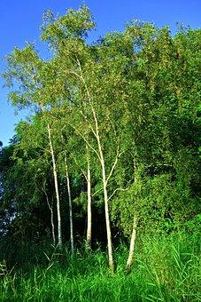 Birch, Tree, Birch Tree, Grove, Trunk, White Bark, Park