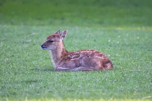 Fawn, Young Deer, Animal, Wild, Cute, Bambi