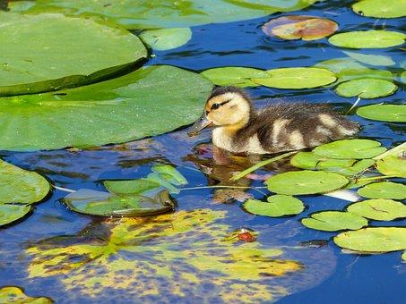 Duck, Water Bird, Pond, Nature, Animal, Wild, Swimming
