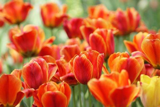 Red, Yellow, Orange, Flower, Tulip, Garden, Blossom