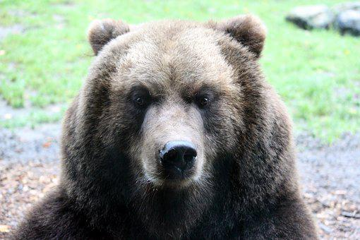 Bear, Brown Bear, Nature, Animals, Teddy, Forest, Zoo