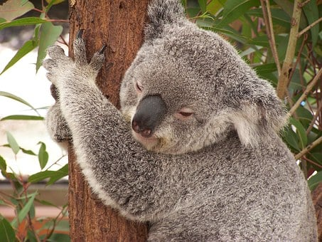 Koala, Australia, Marsupial