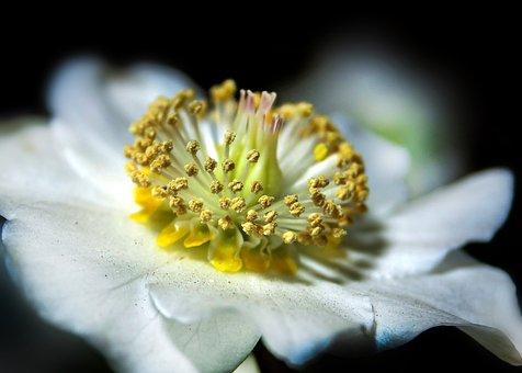 Helleborus, Anemone Blanda, Christmas Rose, Blossom