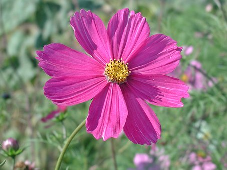 Cosmea, Blossom, Bloom, Flower, Pink Flower, Cosmos