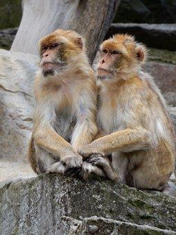 äffchen, Monkey, Zoo, Couple, Cute, Animal
