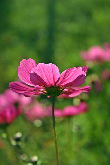 Cosmea, Flower, Blossom, Bloom, Pink Flower, Cosmos