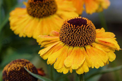 Sun Brews, Helenium, Composites, Tubular Blooms, Flower