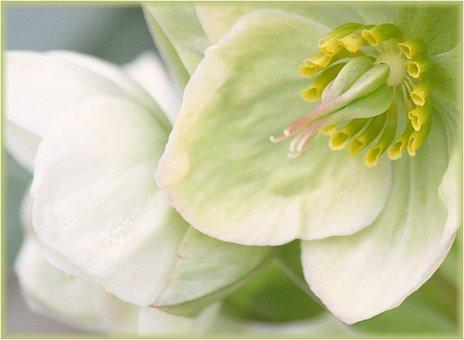 Blossom, Bloom, White, Macro, Garden, Flowers, Plant