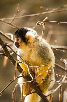 Squirrel Monkey, Monkey, Primate, Zoo, äffchen