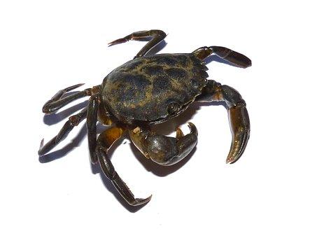 Crab, Mediterranean, Crustacean, Tweezers