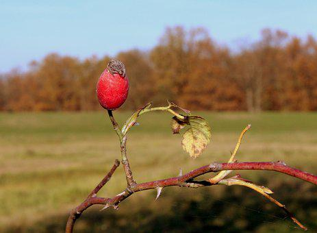 Autumn Landscape, Seasons Of The Year, Rose Hips